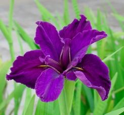 iris-çiçeği1